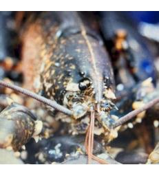 homard bleu Breton 600/800 grs