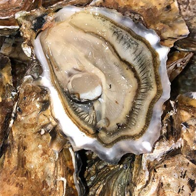 Gigas Oysters salted & not fat from Marennes Oléron